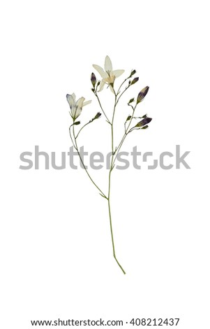 Pressed and dried delicate flower campanula on stem with green leaves. Isolated on white background. - stock photo