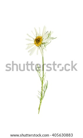 Pressed and dried delicate flower chamomile on stem with green leaves. Isolated on white background. - stock photo