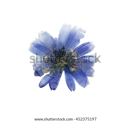 Pressed and dried delicate transparent blue flowers chicory or cichorium. Isolated on white background. For use in scrapbooking, floristry (oshibana) or herbarium. - stock photo