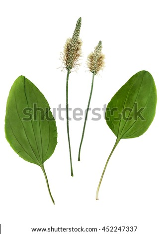 Pressed and dried set of flowers and leaves plantago (psyllium).  Isolated on white background. For use in scrapbooking, floristry (oshibana) or herbarium - stock photo