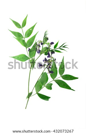 Pressed and dried stalk lathyrus vernus  with delicate blue-violet flowers. Isolated on white background. - stock photo