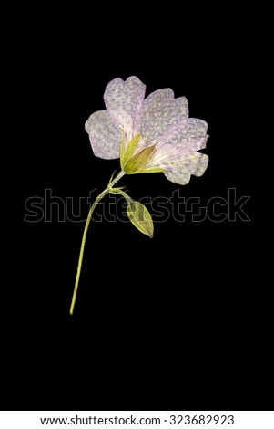 Pressed Dry Flower - stock photo