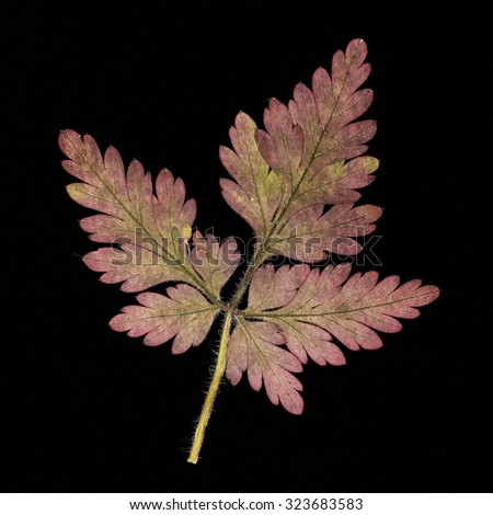 Pressed pink leaf - stock photo