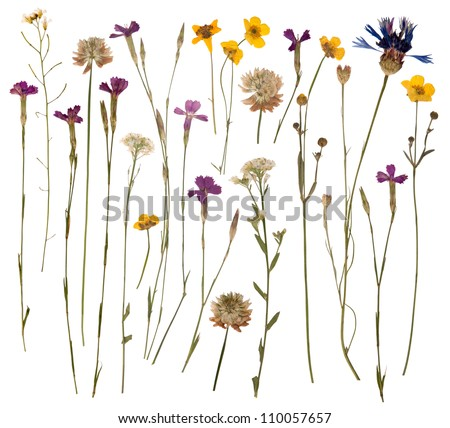 Pressed wild flowers isolated on white background - stock photo