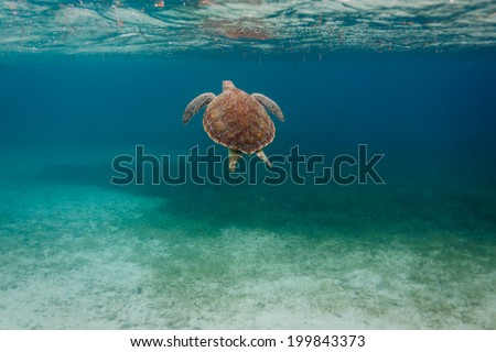 Pretty back of a green sea Chelonia mydas, turtle,  swimming along coral reef sea bed in Caribbean - stock photo