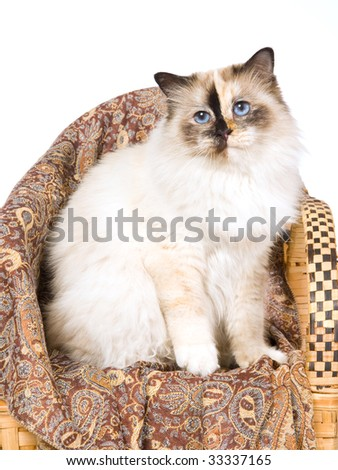 Pretty Birman tortie on miniature chair, on white background - stock photo