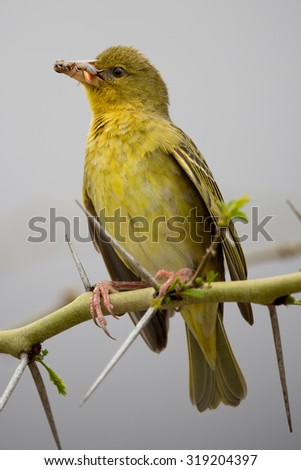 Pretty Cape Weaver Bird with insects that it has caught in it's beak - stock photo