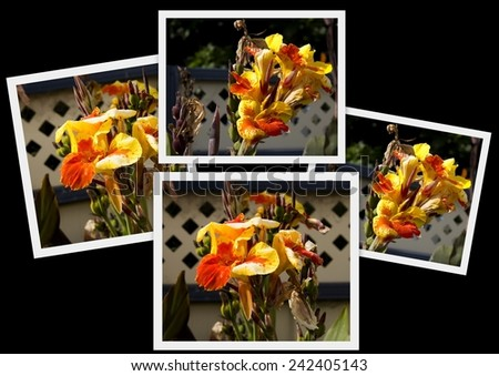 Pretty collage of red and yellow Cannas  a genus of 19 species of flowering plants of the order Zingiberales blooming in summer on tall stalks. - stock photo