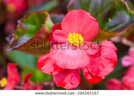 Pretty coral pink flowers of a wax begonia. - stock photo
