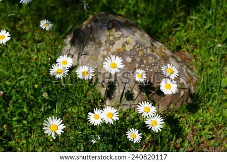 Pretty daisy flowers - stock photo