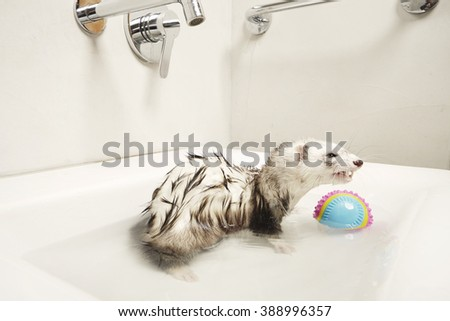 Pretty ferret smiling in warm water bath - stock photo