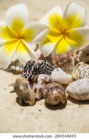 Pretty fragrant white and yellow frangipani flowers, or plumeria, with a collection of assorted seashells on a beach conceptual of a tropical summer vacation - stock photo