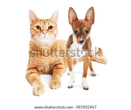 Pretty large adult cat and a little Chihuahua Puppy together on white - stock photo