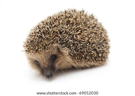Pretty little hedgehog sitting on a white background - stock photo