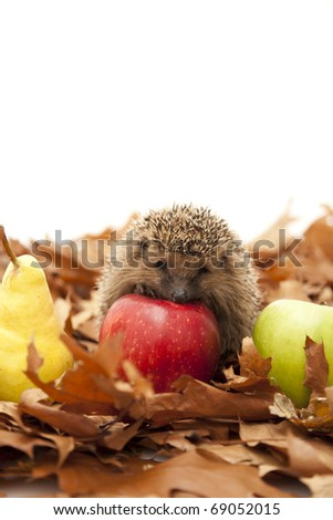 Pretty little hedgehog sitting on the leaves and eating fruit - stock photo