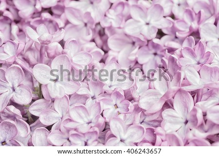 Pretty Pastel Light Pink Lilac Flower Bunch Closeup, filling the framework with short focus on some lower blooms. The bokeh blur area is background for copy, text or your words. High key horizontal - stock photo
