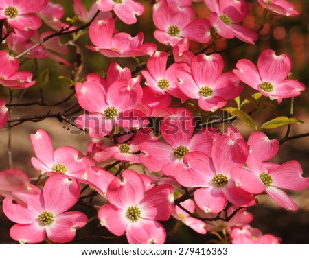 Pretty pink flowers of the dogwood tree, cornus, cornaceae - stock photo