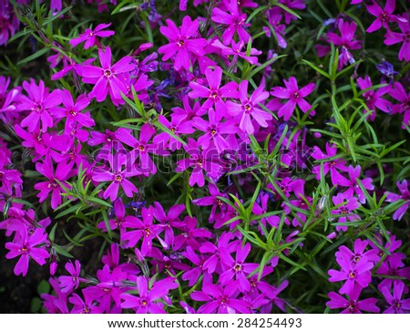 Pretty pink Purple  Flowers Blooming in a Garden - stock photo