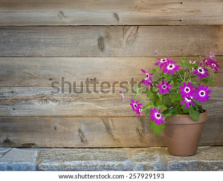 Pretty Purple Pericallis Flowers in a Potting Shed on side on Rustic Stone Floor against Rustic Wood Board Wall Background with empty room or space for text, copy, your words.  Horizontal warm tones. - stock photo