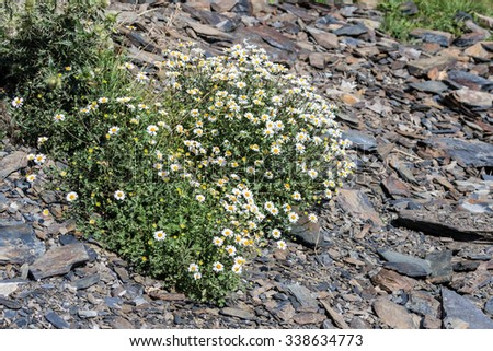 Pretty tiny white daisy flowers growing on a rock - stock photo