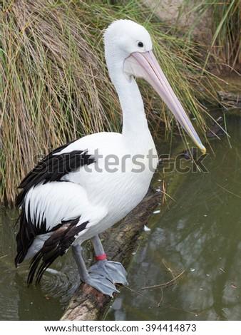 pretty unusual Australian Pelican - largest flying bird in Australia is sitting on a branch near the water - stock photo