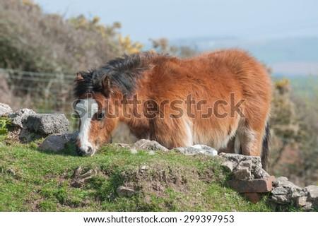 pretty welsh pony grazing on stone wall vegetation - stock photo