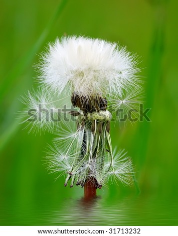 pretty white ball of dandelion against green defocused background - stock photo
