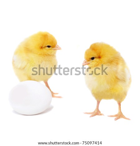 pretty yellow chickens and egg, isolated on white - stock photo