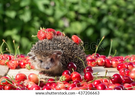 pretty young hedgehog, Atelerix albiventris,among the berry on green leaves background - stock photo
