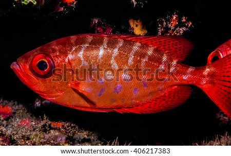 """Priacanthidae, the bigeyes, are a family of 18 species of marine fishes. """"Catalufa"""" - stock photo"""