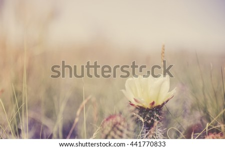 Prickly Pear Cactus Bloom with Field in Background. Matte Colors. - stock photo