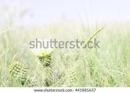 Prickly Pear Cactus Blooming in a Meadow on the Plains of Colorado - stock photo