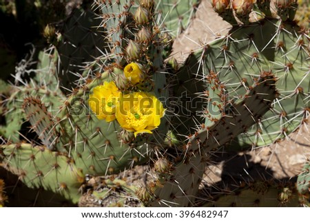 Prickly pear cactus blooming with yellow flowers in spring. Sonoran desert outside of Phoenix, Arizona - stock photo