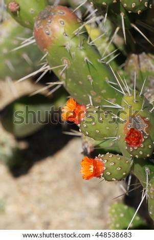 Prickly pear cactus in bloom, California - stock photo