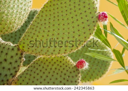 Prickly pear cactus with fruit in purple color, cactus spines. - stock photo