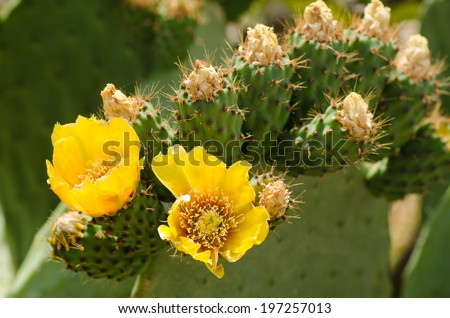 Prickly pear cactus with yellow flowers in springtime - stock photo