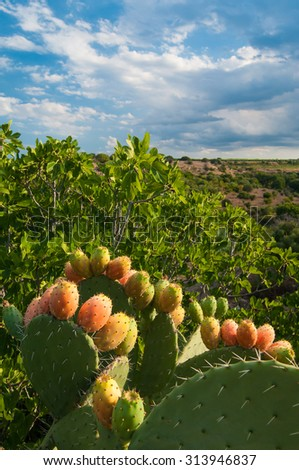 Prickly pears on a cactus plant grown near a ficus tree - stock photo