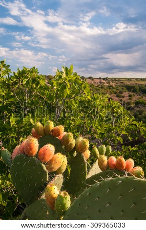 Prickly pears on a cactus plant, landscape and clouds - stock photo
