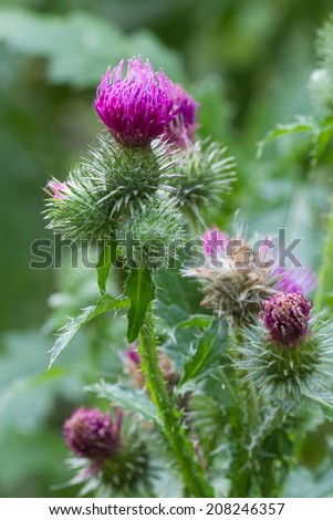 prickly thistle blooming closeup outdoor vertical - stock photo