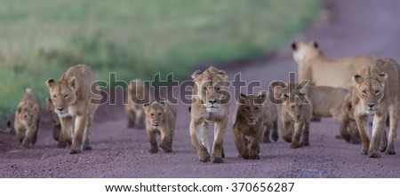 Pride of African Lions in the Ngorongoro Crater in Tanzania - stock photo