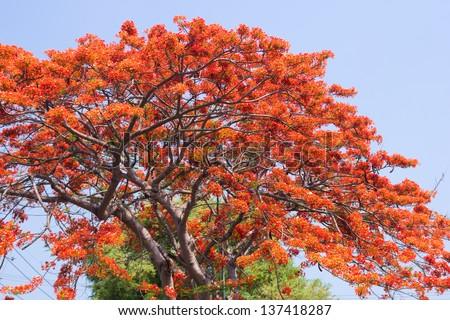 Pride of Barbados, Peacock's Crest ( Caesalpinia pulcherrima Sw .) - stock photo