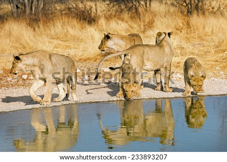 Pride of five lions drinking from a waterhole in Ongava Reserve - stock photo