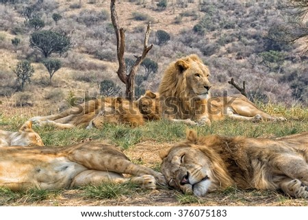 pride of lions resting (south africa) - stock photo