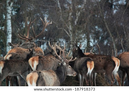 pride of red deers in winter - stock photo
