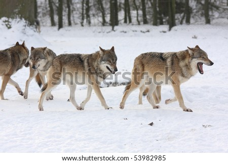 pride of wolves in winter - stock photo