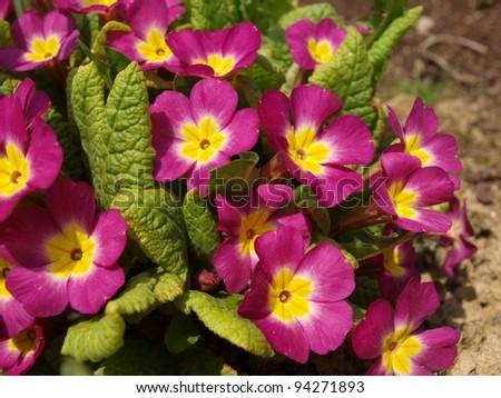 primrose - stock photo