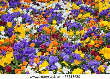 Primrose flowers in a garden - stock photo