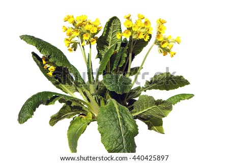 Primrose or primula veris, also known as cowslip on white background, this plant is used for lung diseases. - stock photo