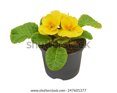 Primrose yellow flower violet isolated on white background - stock photo