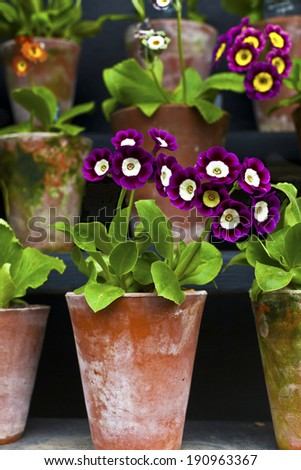 Primula Auricula Primulaceae in a terracotta pots. - stock photo